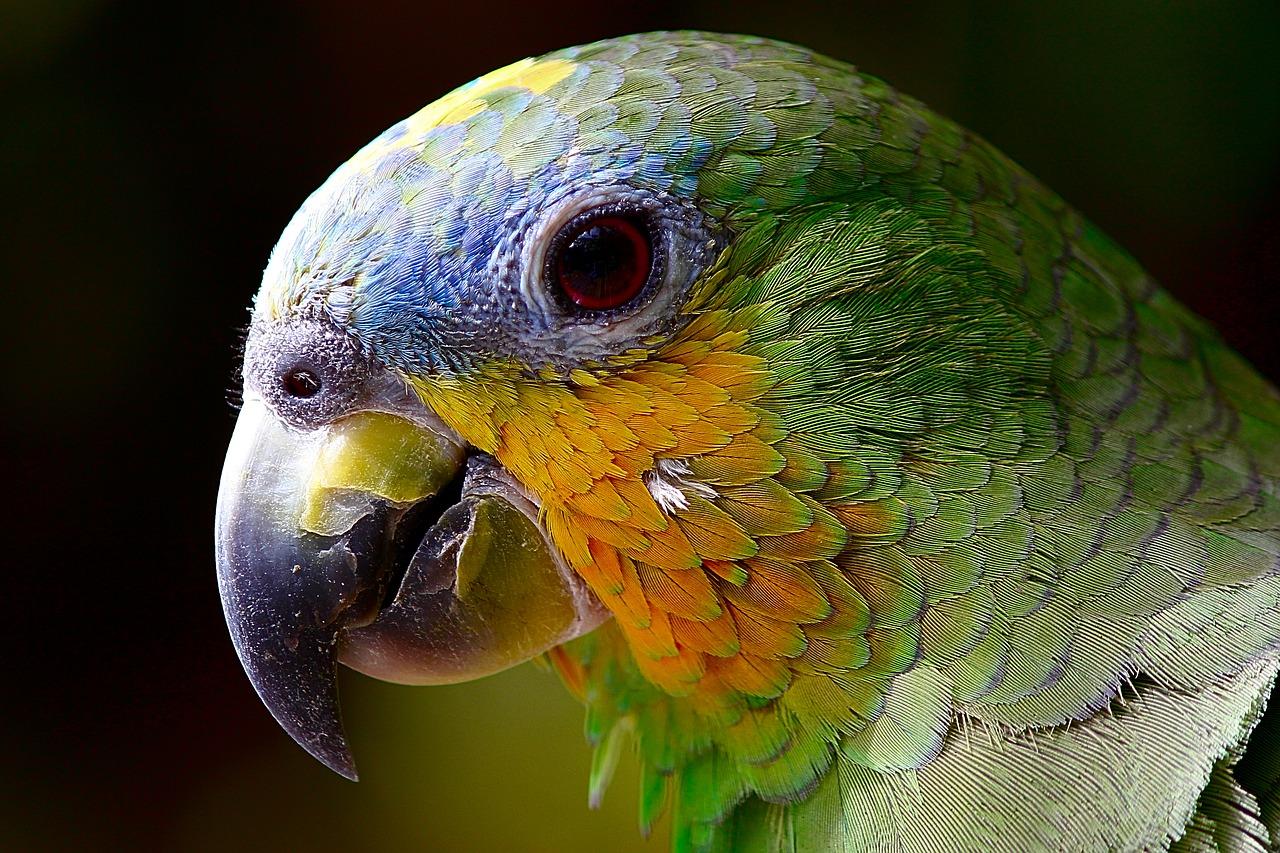 Perroquets pour animaux de compagnie