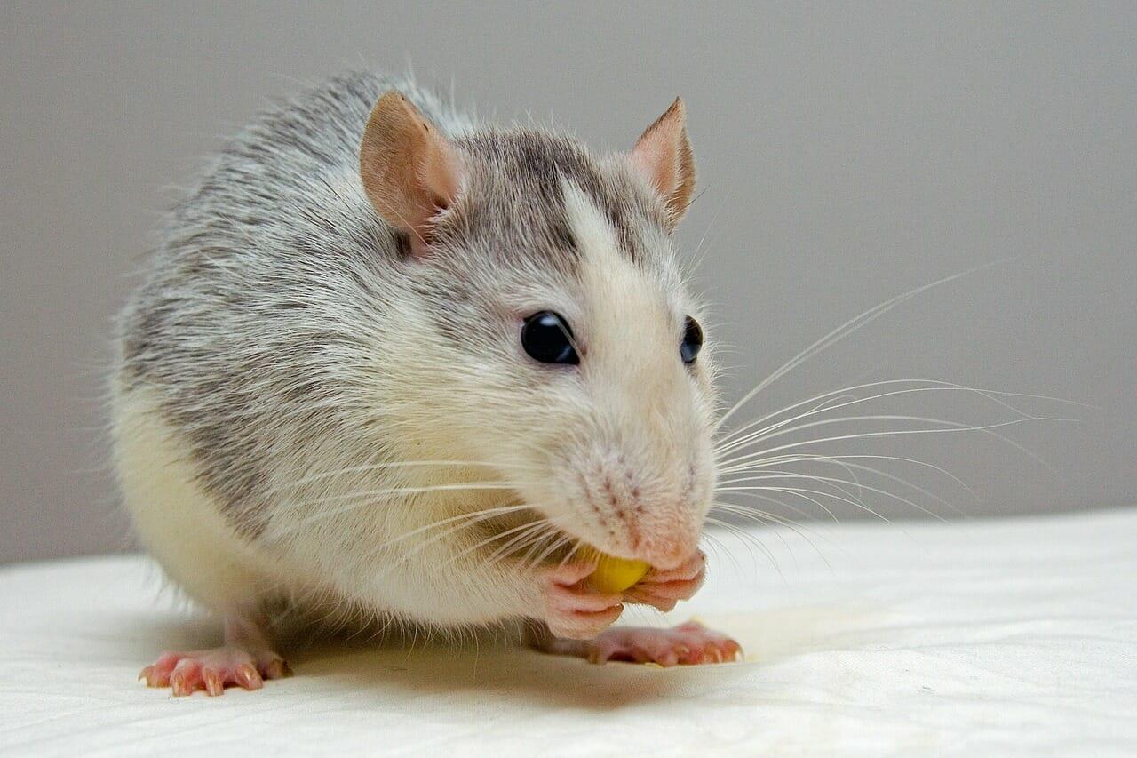 Pourquoi les rats et les souris sont-ils de plus en plus appréciés