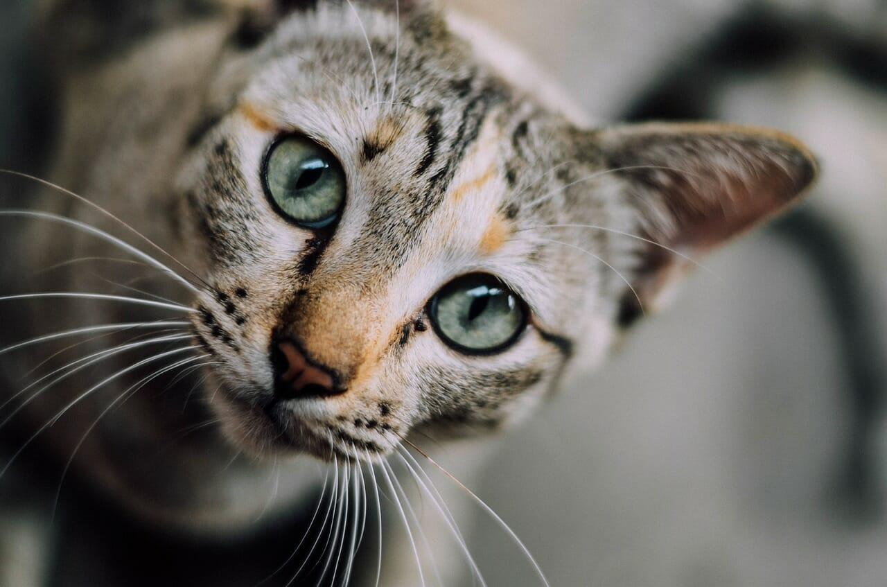 comment nettoyer les oreilles de mon chat