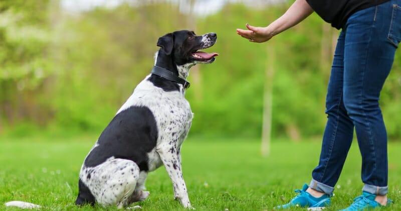 Les accessoires indispensables pour dresser un chien